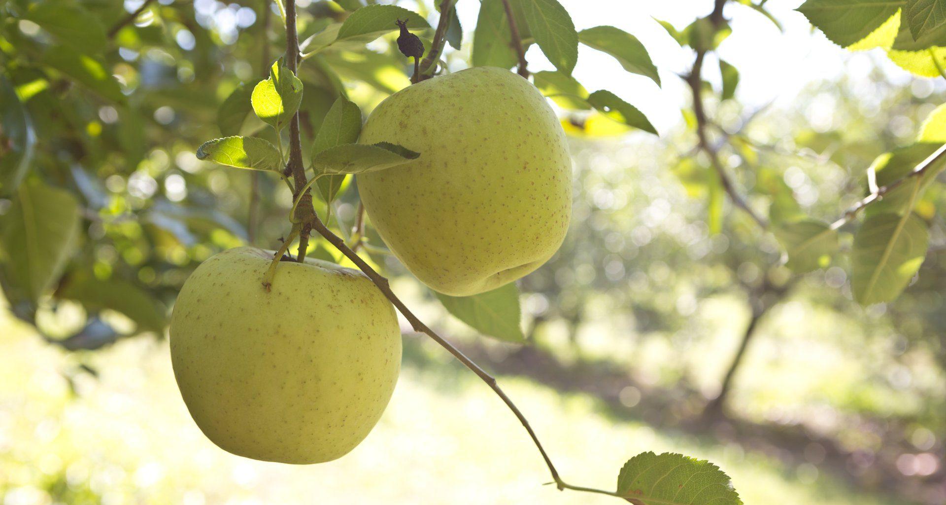 Apple Orchard in Ellijay, Georgia
