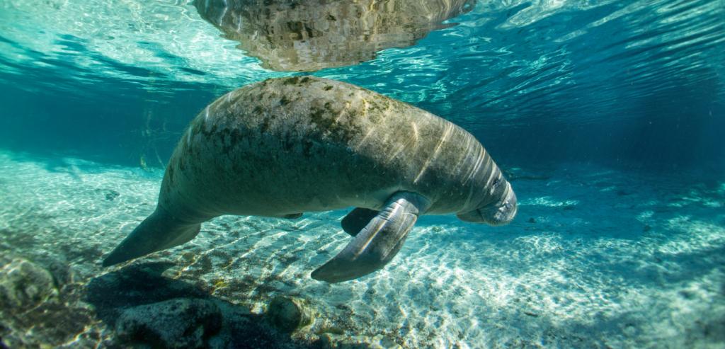 Manatee swimming at a sanctuary in Satellite Beach, Florida.