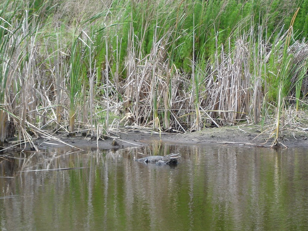 Alligator in the water at the Crooked River State Park